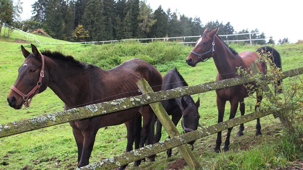 Jungpferde auf der Koppel des Reitstall Reiterhof Kaidern bei Feldkirchen in Kärnten