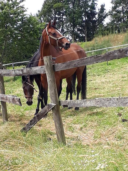 Reiterhof Kaidern bei Feldkirchen in Kärnten - Reitpferd Belli auf der Pferdekoppel